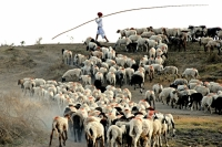Second Award Winner - A Shepherd; Photographer: Nitin Khatri; Location: Indore, India